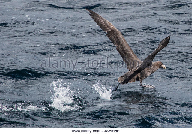 A northern giant petrel, Macronectes halli, taking off from the water near the Beagle Channel. - Stock Image
