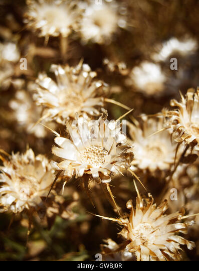Dry flowers in the ground in warm tone - Stock Image