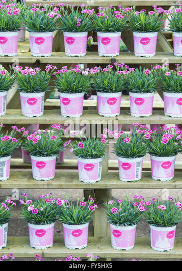 Display Shelving Stock Photos amp Display Shelving Stock  : dianthus caryophyllus pink kisses flowers in pots on a garden center fy5hx5 from www.alamy.com size 364 x 540 jpeg 71kB