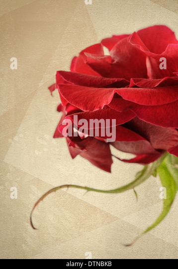 Red rose on textured paper background - Stock Image