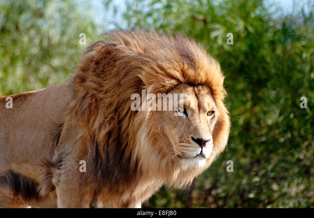 Portrait of a lion, Mpumalanga, South Africa - Stock Image