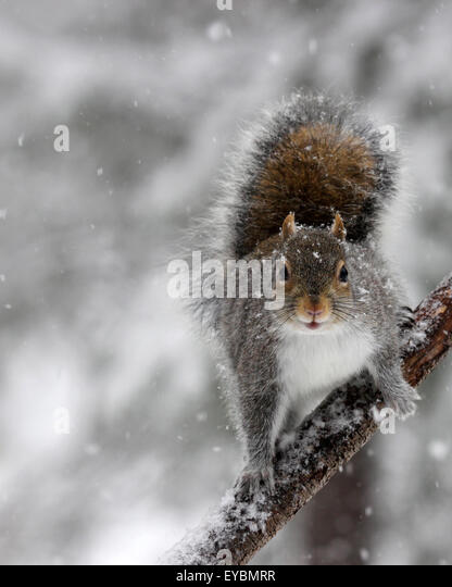 A gray squirrel (Sciurus carolinensis) on a branch in falling snow on a winter morning - Stock Image