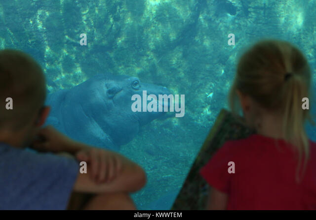 children viewing Baby hippo Fiona with mother at Cincinnati Zoo - Stock Image