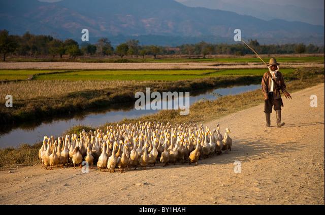 Keng Tung Myanmar  city images : Myanmar, Burma, Keng Tung Kyaing Tong . A young village man herding ...