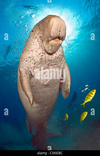 Dugong with divers in the background, Marsa Abu Dabab, Red Sea, Egypt - Stock-Bilder