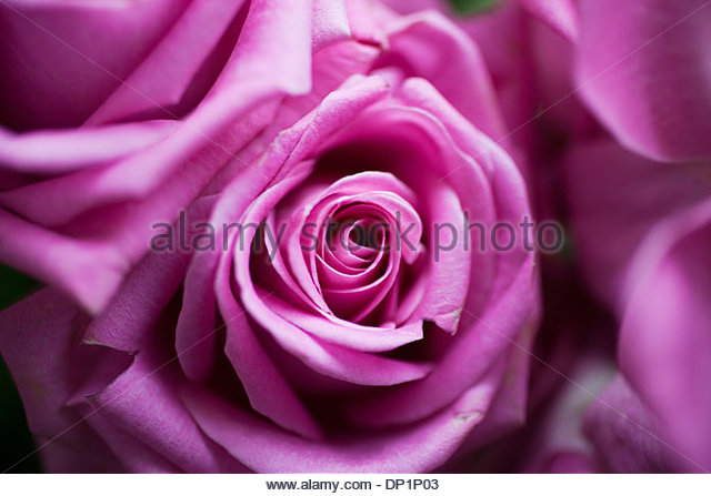 Close up of pink rose - Stock Image
