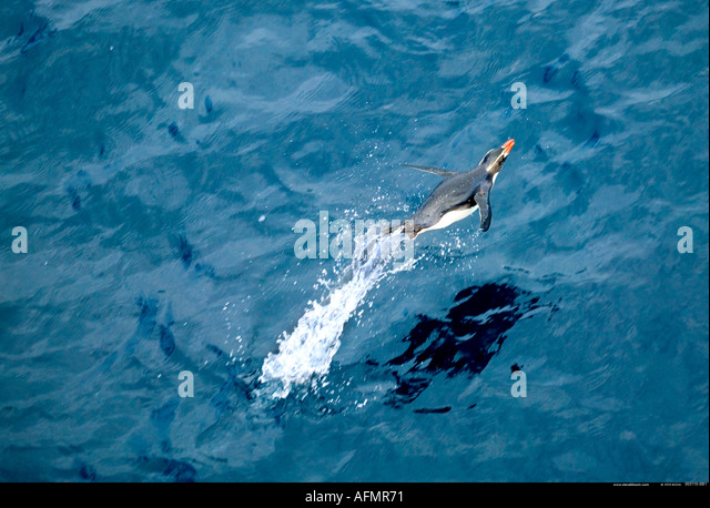 Snares Crested Penguin leaping out of the water Snares Island Antarctica - Stock Image