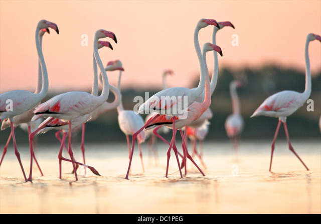 Group of flamingos at dawn, Oristano Region in Sardinia, Italy - Stock Image