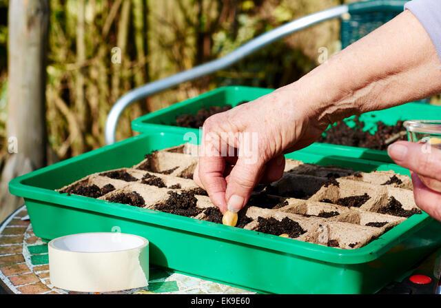Gardener planting pumpkin seeds in planter. - Stock Image