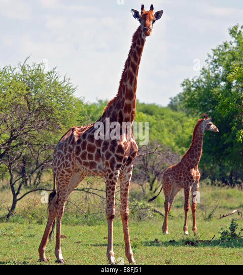 View of giraffe - Stock Image