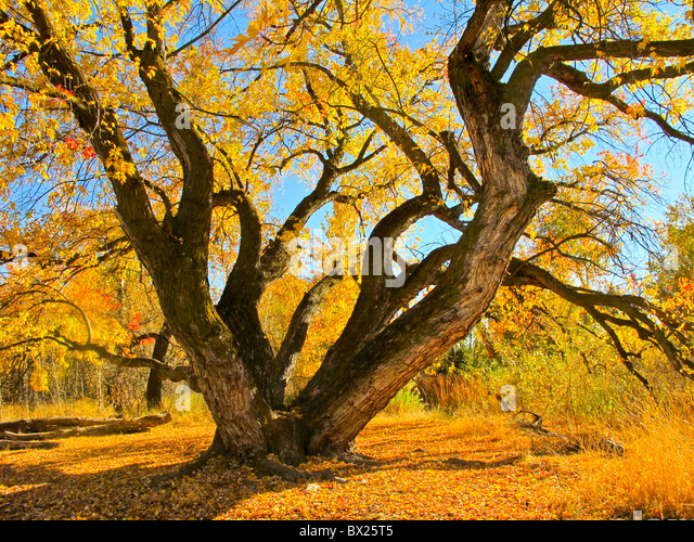 USA, Boise, Beautiful Maple tree on the Boise River Greenbelt in the fall. - Stock-Bilder