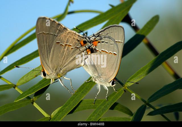Hairstreak Butterfly Species - Los Novios Ranch - near Cotulla, Texas USA - Stock Image