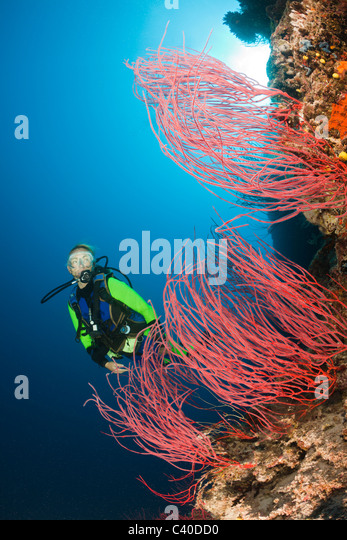 Scuba Diver and red Whip Corals, Ellisella sp., Wakaya, Lomaiviti, Fiji - Stock Image
