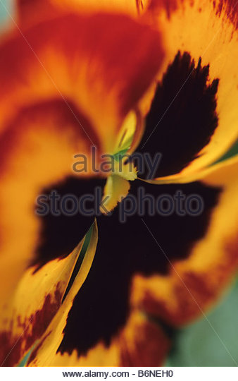 pansy Viola Ultima Impression - Stock Image
