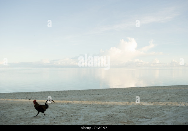 Rooster walking along beach - Stock Image