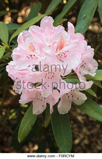 Rhododendron 'Bashful'. - Stock Image