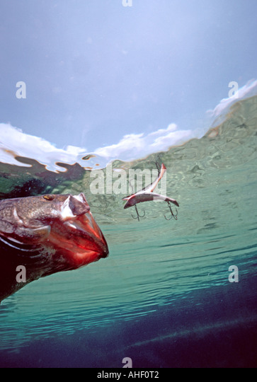 underwater profile largemouth bass charges toward surface lure plug floating artificial bait action - Stock Image