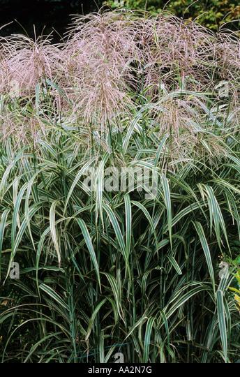 Ornamental Grasses Kenya : Grass plumes plumed flowers flowerheads garden plant grasses