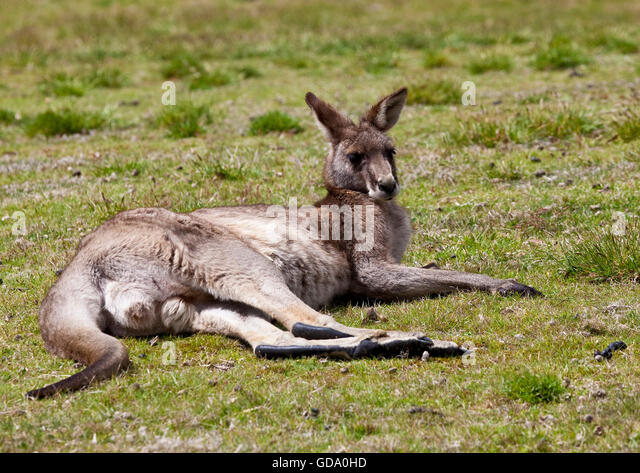 Male kangaroo lying on grass - Stock Image