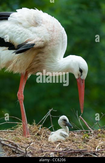 Stork Baby Stock Photos Amp Stork Baby Stock Images Alamy