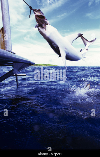 grey reef shark attacking bait at Bikini Atoll - Stock Image