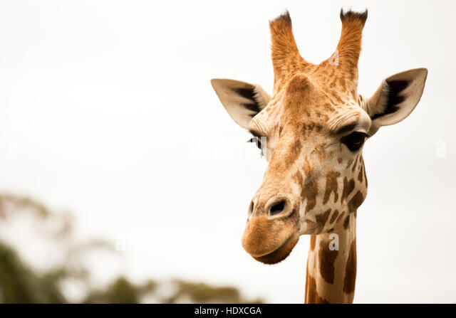 Closeup portrait of giraffe looking at camera - Stock Image