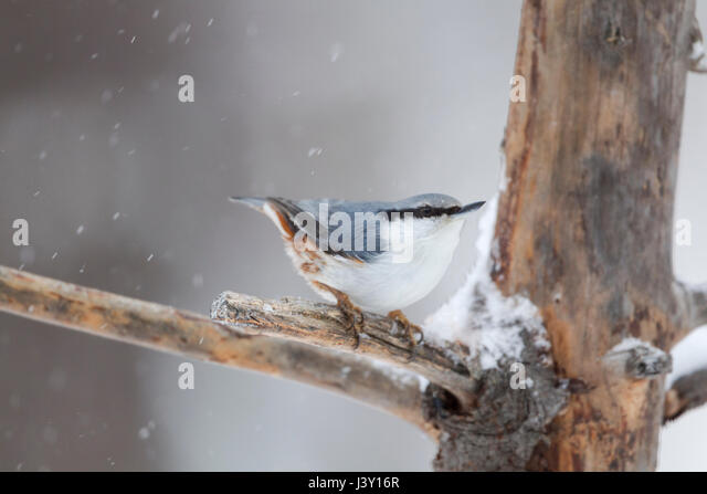 Scandinavian nuthatch, Latin name  Sitta europaea, showing white breast and underbelly in winter with snow falling - Stock Image