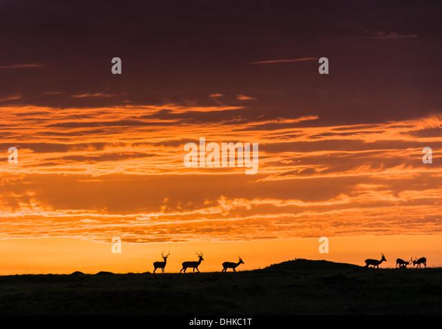 Grant's gazelle silhouettes at sunrise, Masai Mara - Stock-Bilder