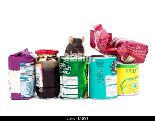 A brown rat surrounded by food, a rat in a kitchen. - Stock-Bilder
