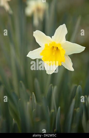 Close up of yellow spring daffodil in garden - Stock Image