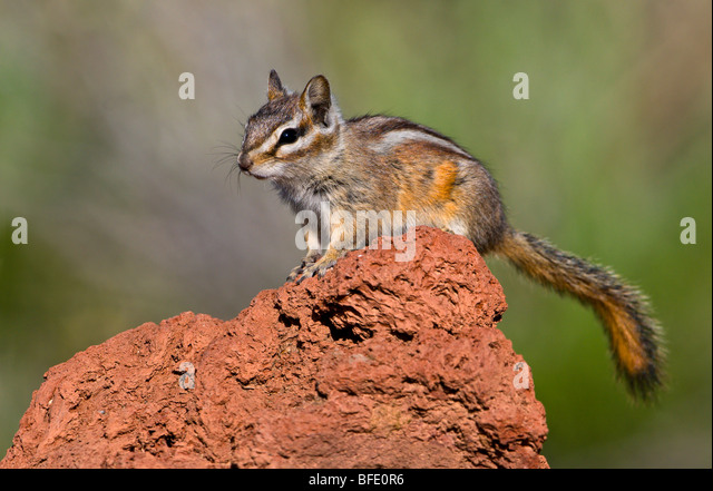 Least chipmunk (Tamias minimus) perched on rock in Deschutes National Forest, Oregon, USA - Stock Image