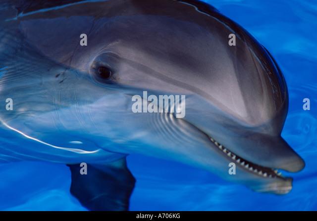 Close up of a dolphin Loro Parque Puerto de la Cruz Tenerife Canary Islands Spain Europe - Stock Image