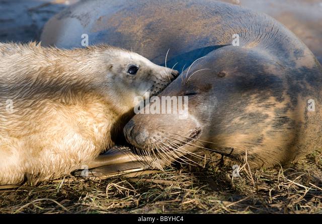 Alantic Grey Seal Cow & Newborn Seal Pup - Stock Image