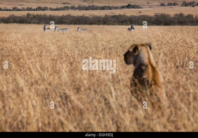 lioness watching zebras in the Masai Mara - Stock Image