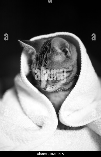 A young kitten wrapped up in a white towel, looking away from the camera - Stock Image