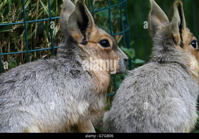 Patagonian Hare (Dolichotis patagonum) - Stock Image