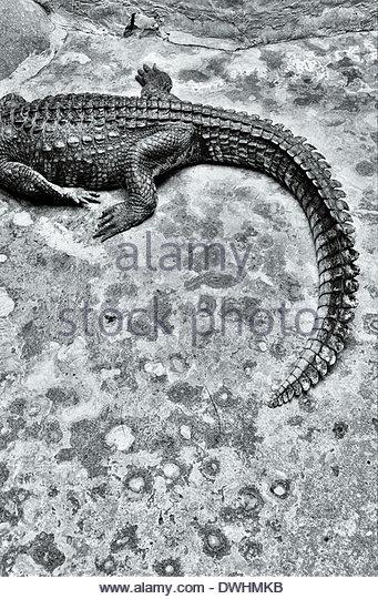 Crocodile, Bangkok, Thailand, South East Asia. - Stock Image