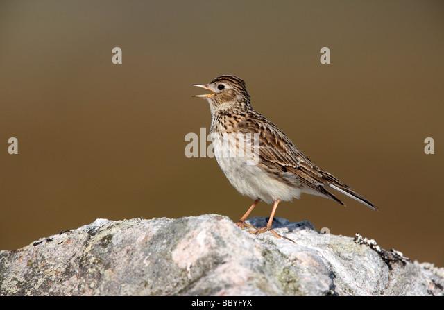 Skylark Alauda arvensis singing Scotland spring - Stock Image