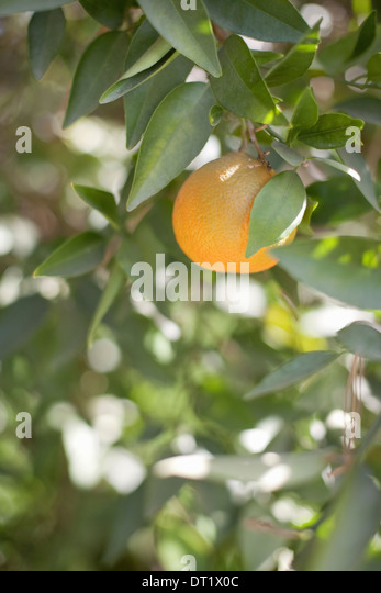 A single orange fruit hanging from a fruit tree in leaf An organic orchard fruit - Stock Image