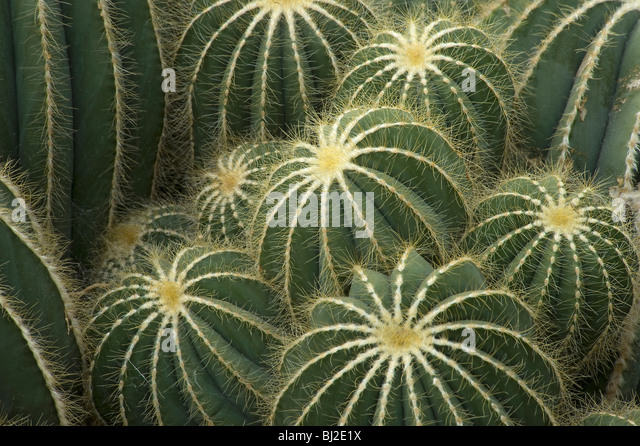 Parodia magnifica with spines on ridges, S Brazil and Uruguay - Stock Image