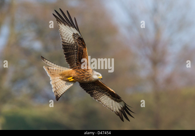 Red Kite, Milvus milvus, soars over the countryside in Wales - Stock Image