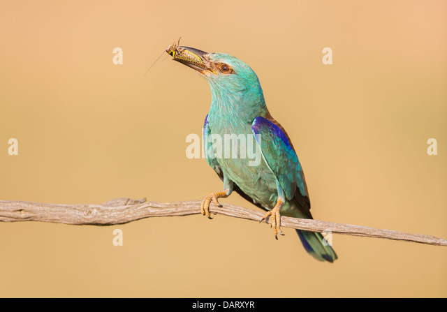 Wild European roller (Coracias garrulus) resting on a branch with a freshly caught insect - Stock Image