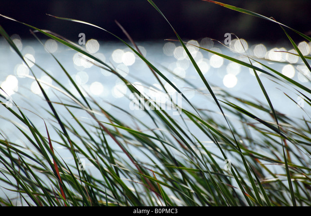 Reeds and Sparkling Water - Stock Image