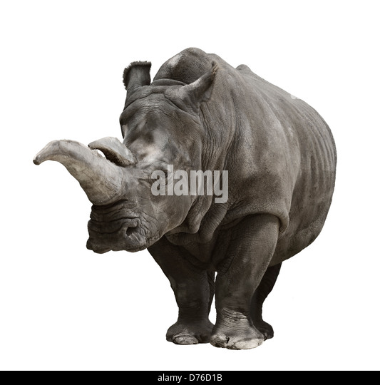 Portrait Of A Rhinoceros On White Background - Stock Image