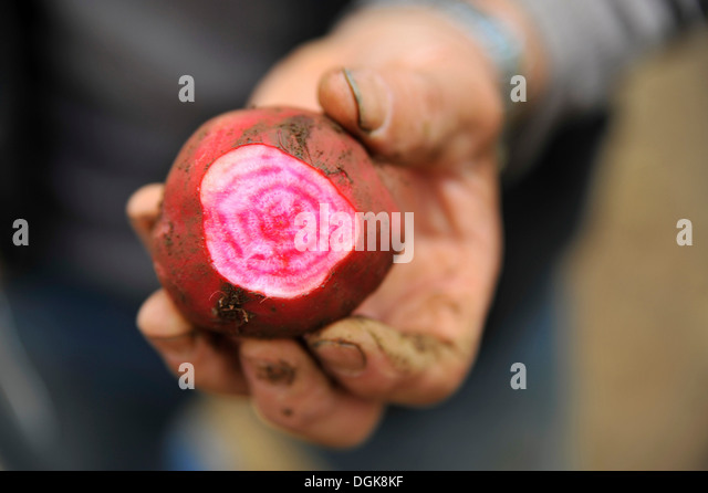 Man holding a turnip - Stock Image