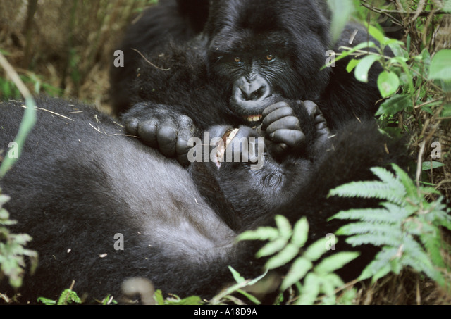 Mountain gorillas Parc des Virungas Democratic Republic of Congo - Stock-Bilder
