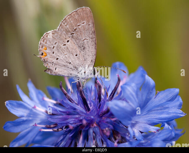 Diminutive Easter Tailed Blue butterfly feeding on a blue Cornflower in spring - Stock Image