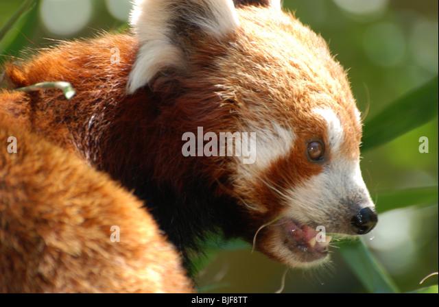 A Red Panda - Stock Image