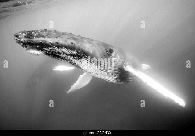 Humpback Whale, Megaptera novaeangliae, Silver Bank, Atlantic Ocean, Dominican Republic - Stock Image