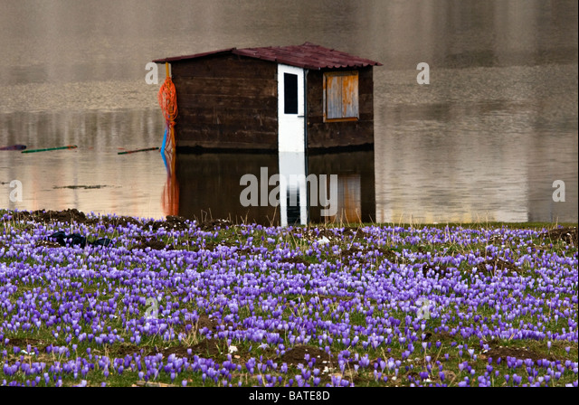 Crocus albiflorus on plateau of Campitello Matese in Italy - Stock Image